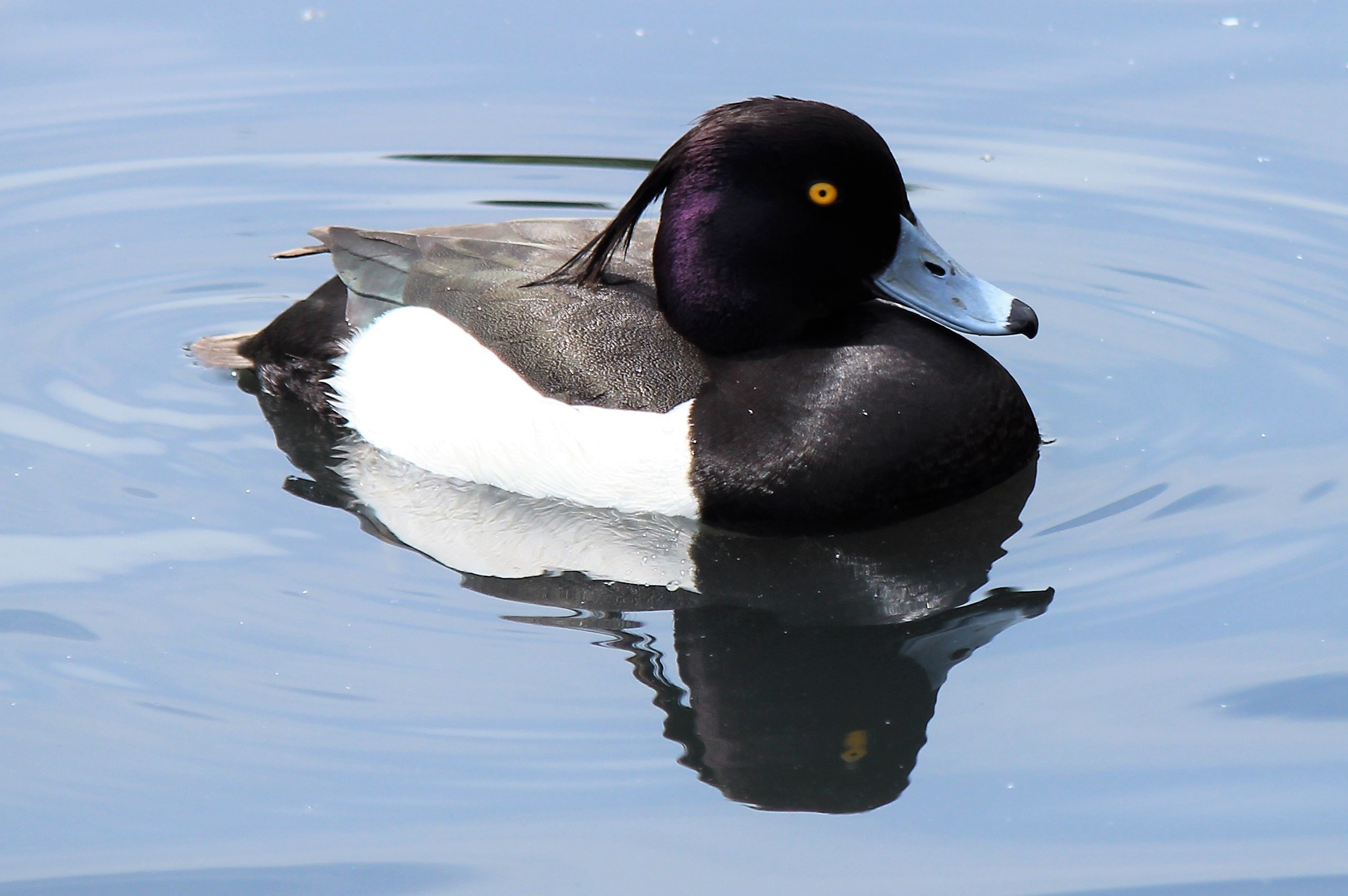 Tufted duck on water