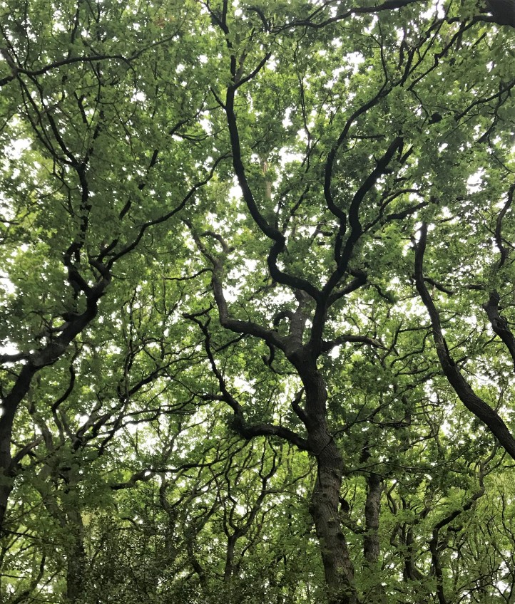 View up into the canopy of a mature oak tree