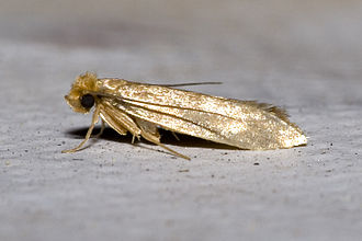 enlarged image of the clothes moth.
