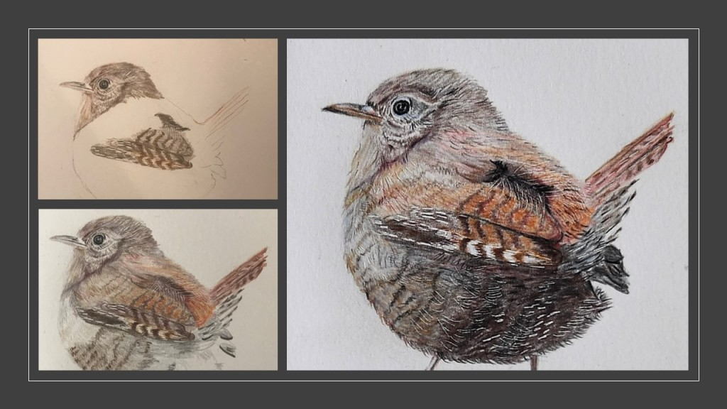 Three stages of a drawing of a wren in coloured pencil.