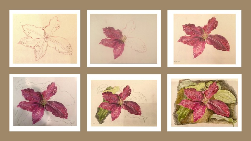 Six stages of a drawing of a clematis