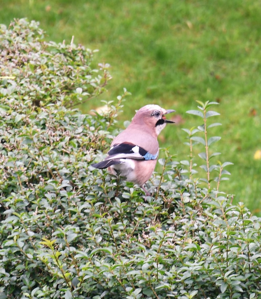A Jay stocking up  on acorns