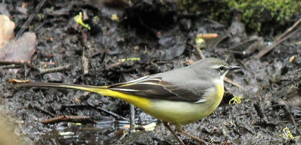 Grey wagtail hunting for food in mud by the beck.