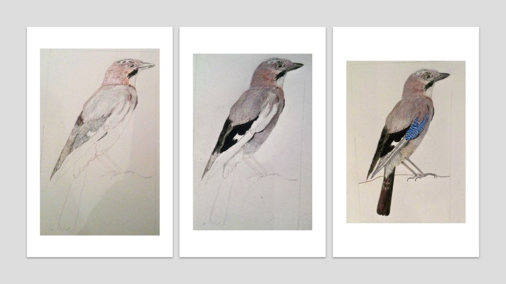 three stages of the drawing of a Jay using coloured pencils.