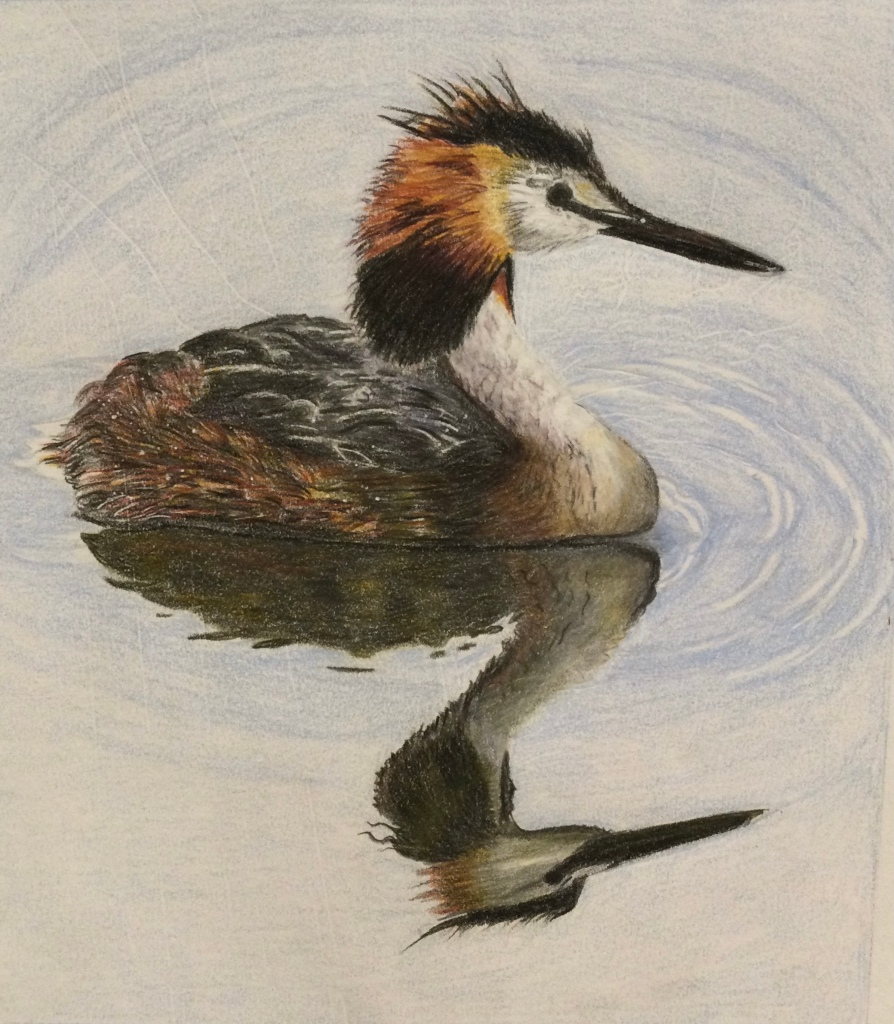 Great Crested Grebe drawing done with coloured pencils.