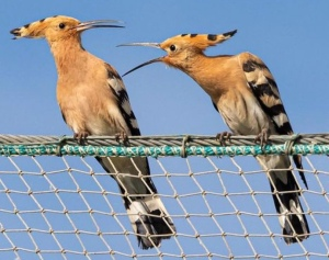 Reference photo for hoopoe drawing.