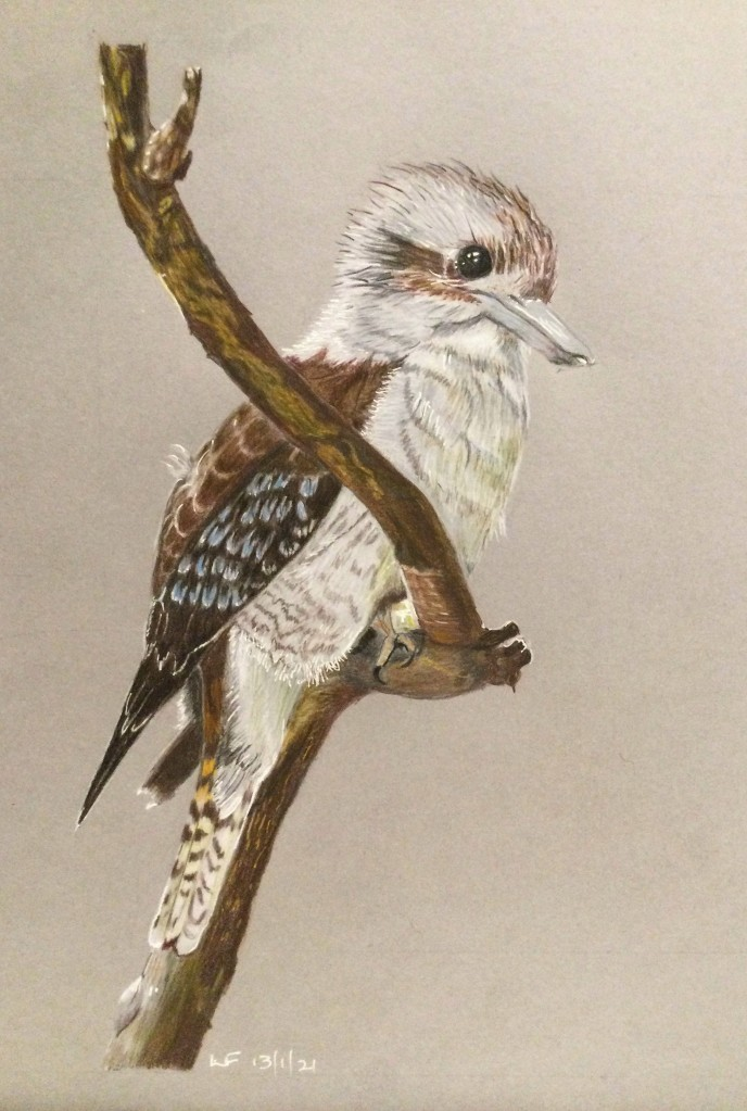 Drawing of a Kokaburra done on coloured paper with coloured pencils.