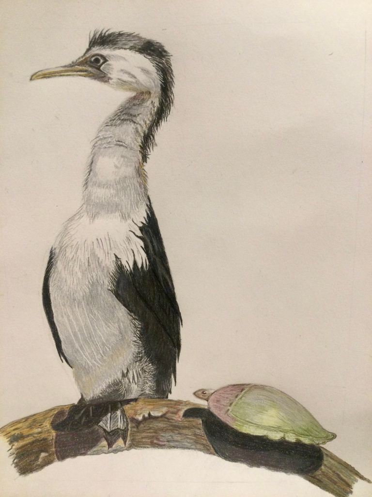 Drawing of an Australian pied cormorant on a branch next to a green turtle.