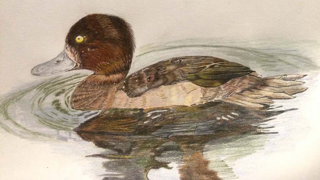 Female tufted duck done in coloured pencils.
