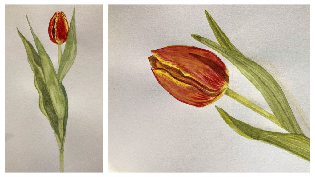 two watercolour paintings of a single tulip with a red and yellow bloom.