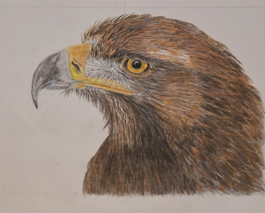 Golden eagle head, drawn with coloured pencils.