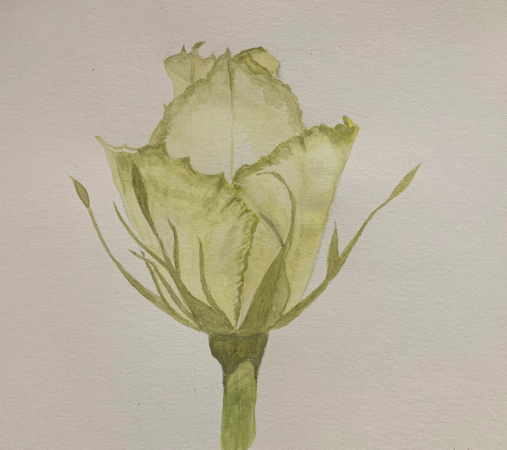 water colour painting of a rosebud just starting to bloom.