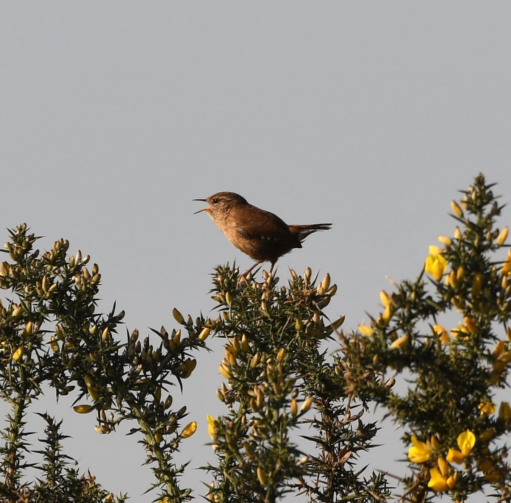 Wren on a gorse bush singing.