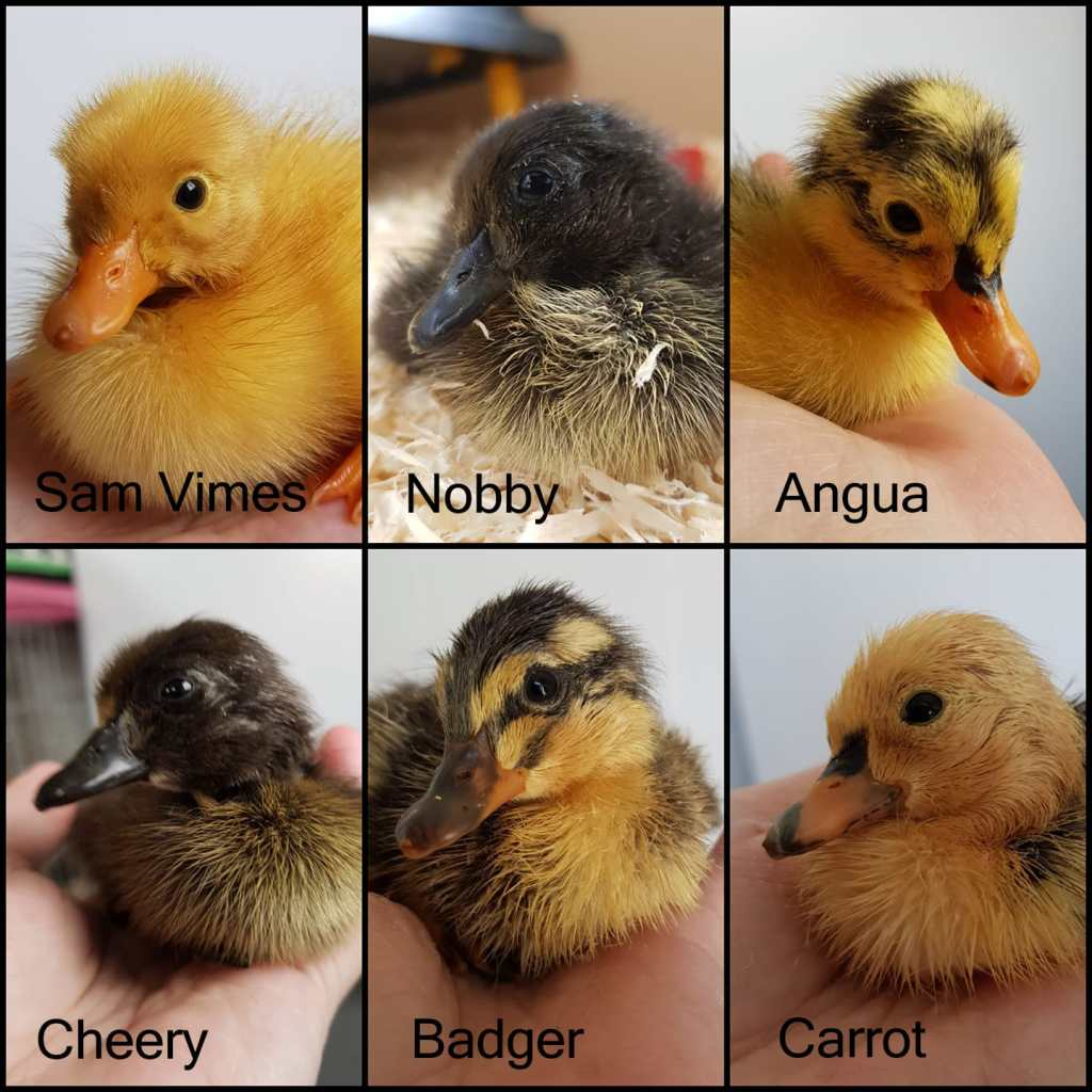 Six different runner ducklings just one or two days old.