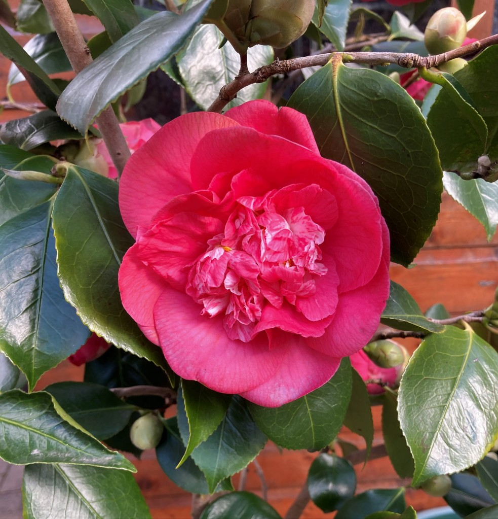 Close up of a Camellia bloom.