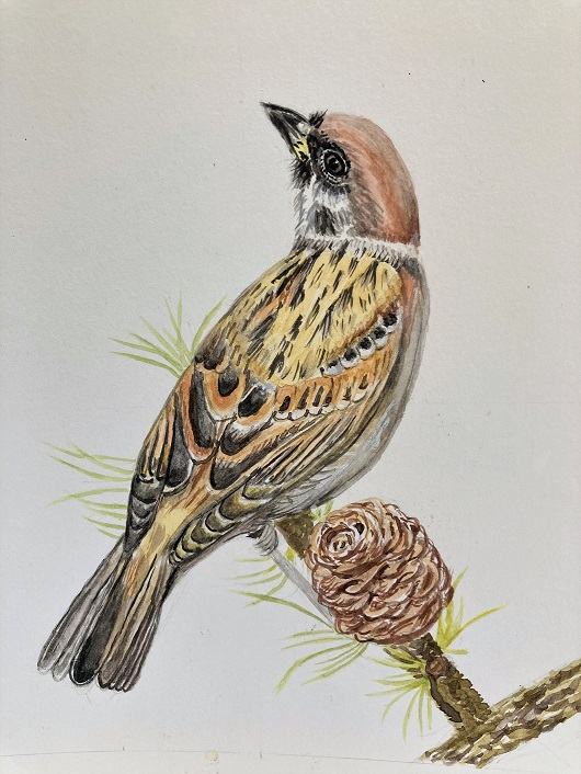 Water colour painting of a tree sparrow.