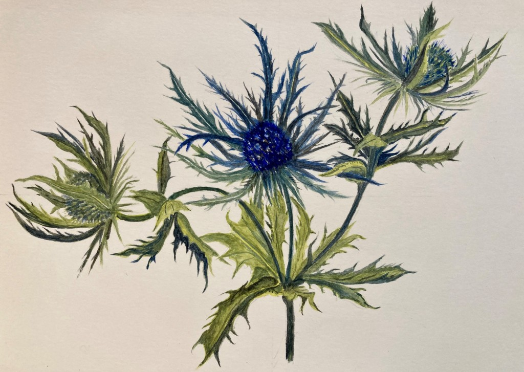 Water colour painting of Sea Holly