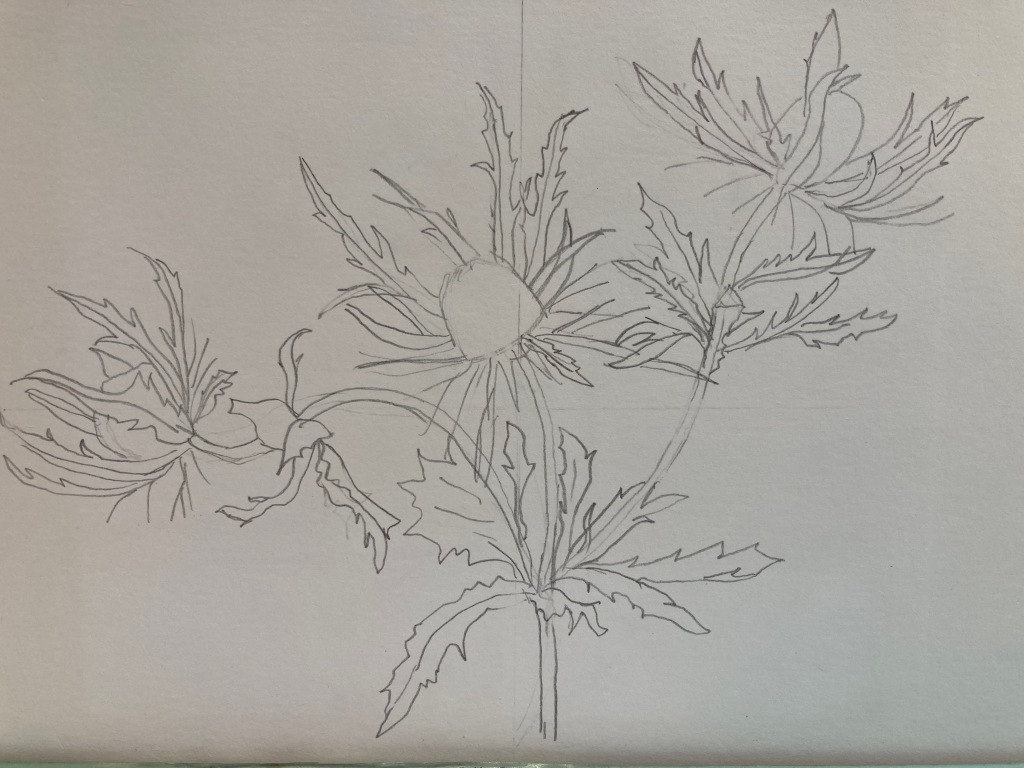 Initial drawing of sea holly.