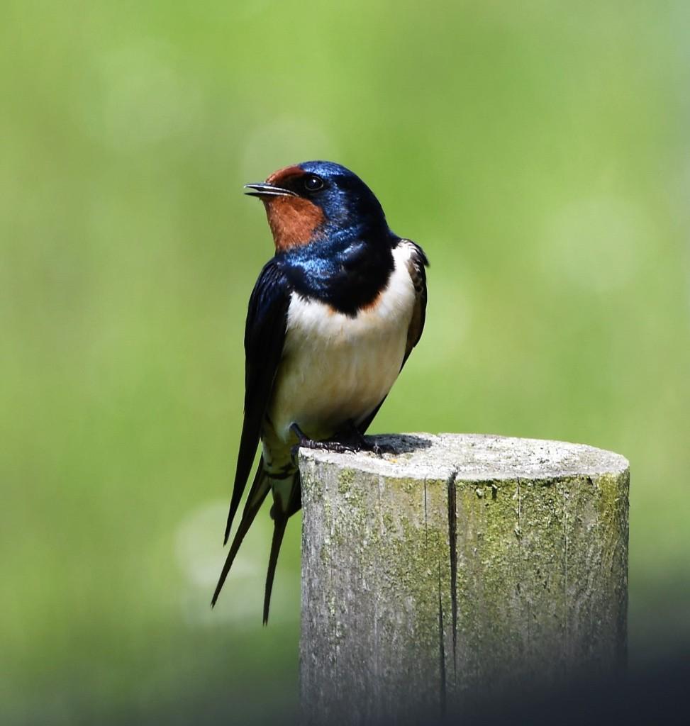 Swallow sitting on a fence post enjoying the sunshine