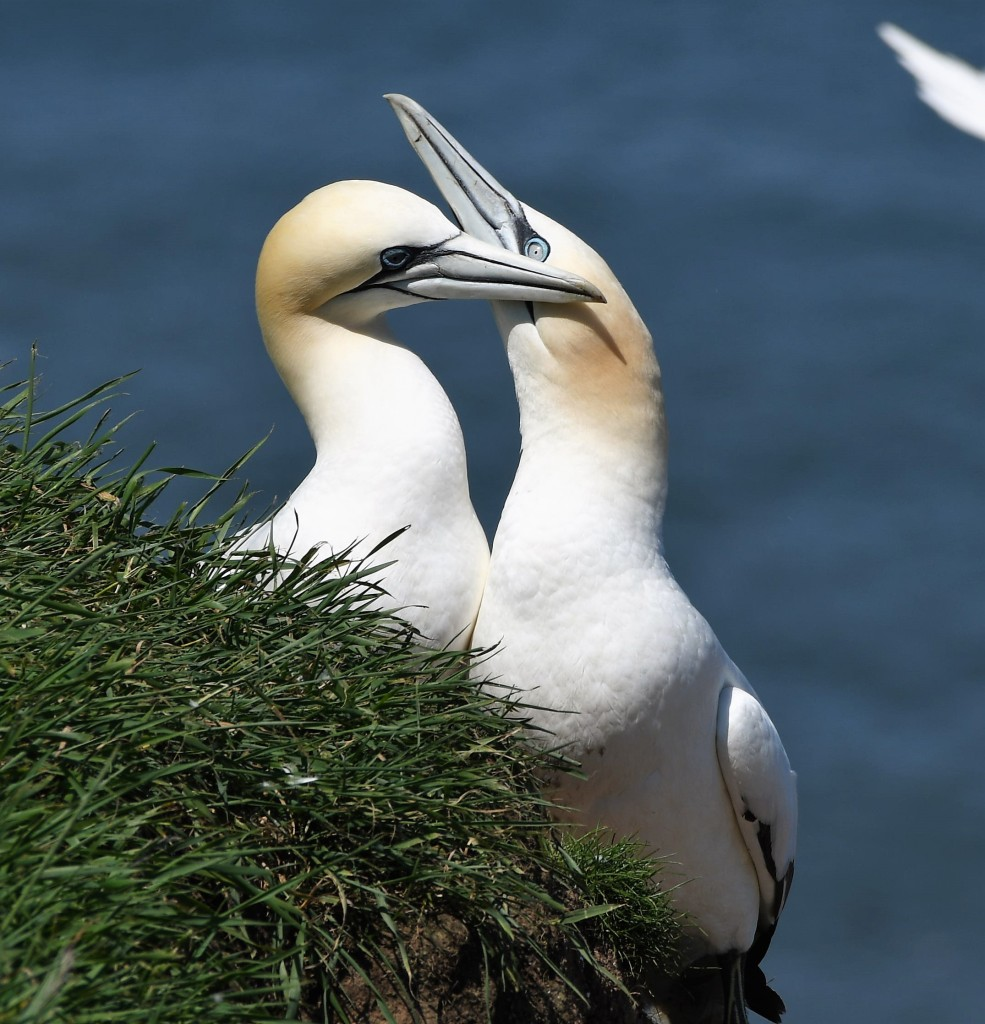 Two northern gannets on the cliffs at Bempton
