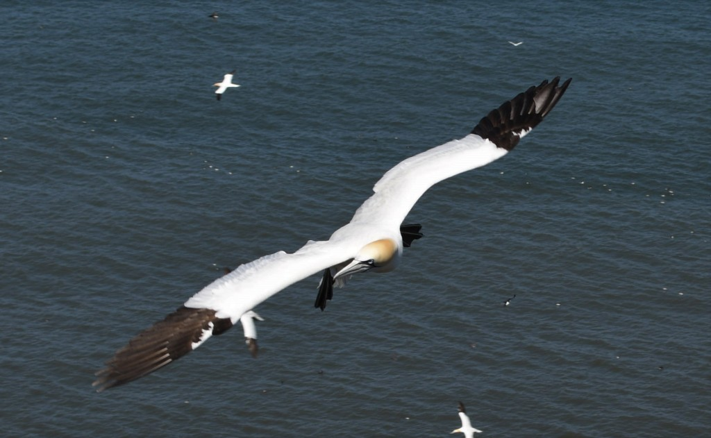 Gannet in flight, checking out the strange human creatures on the cliff tops.