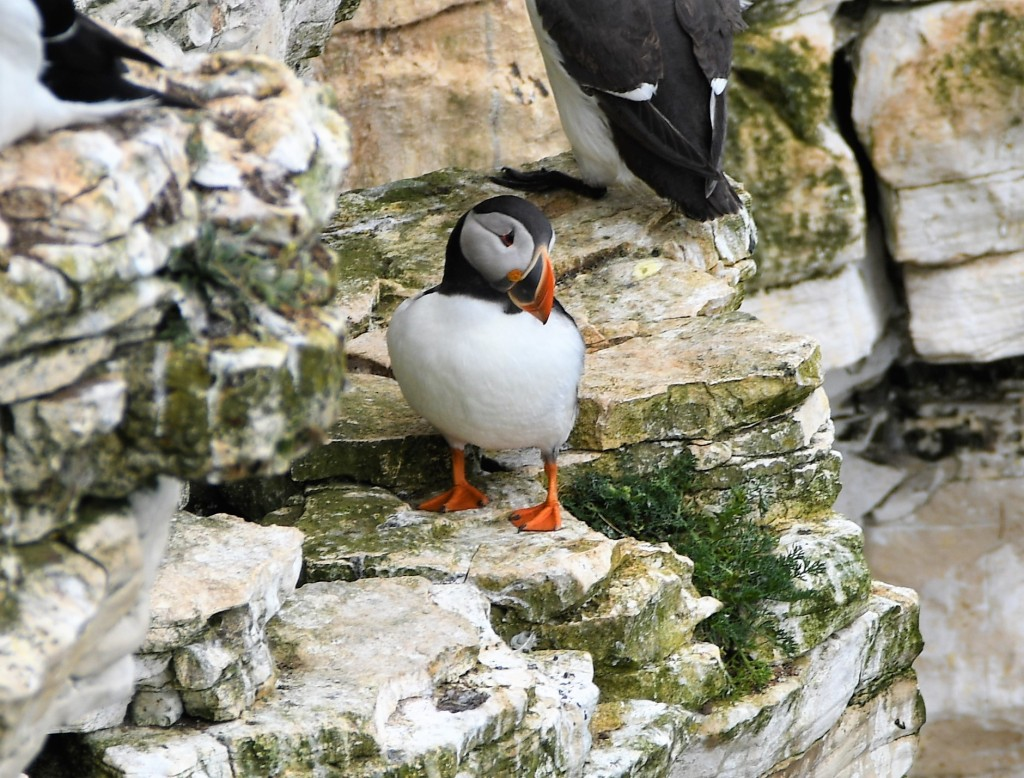 Puffin on a cliff shelf