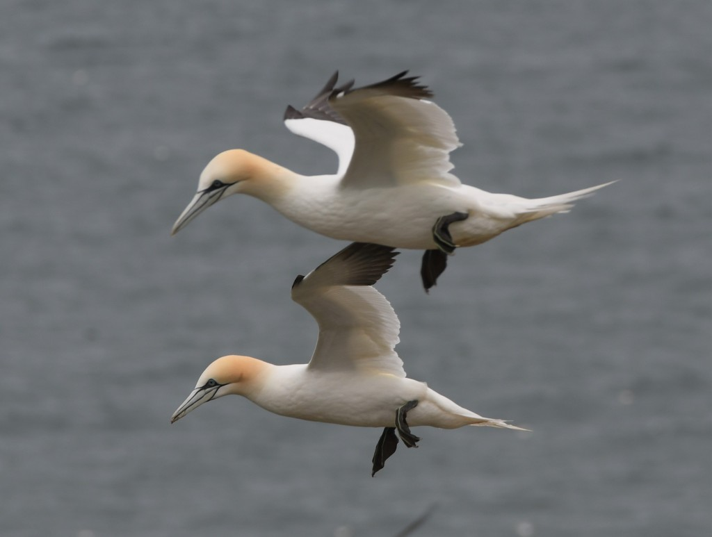 Two gannets balancing on the wind.