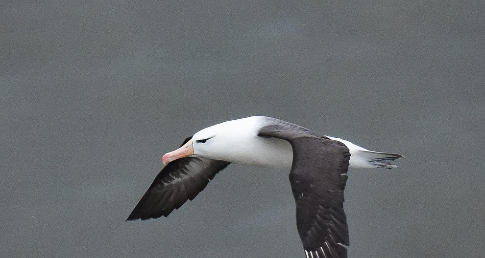 Photo of a Black Browed Albatross